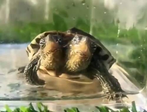 Learning Mandarin-Turtle with Two Heads Stuns Residents in Shangrao(HSK3)