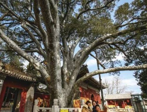 Learning Mandarin-Beijing elects 10 tree kings to assist in ancient tree protection(HSK3)