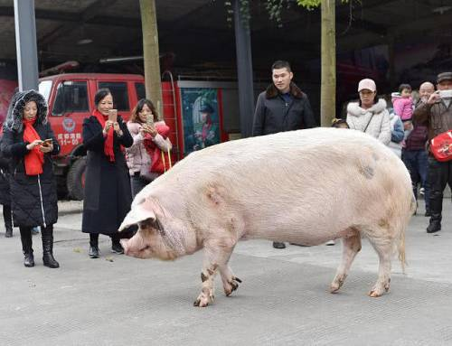 Learning Mandarin-people hope worlds strongest pig can bring luck for upcoming year of the pig(HSK2)