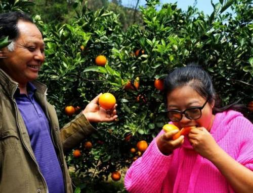 Learning Mandarin-Girl Helps Parents Set Up Online Tangerine Business(HSK2)