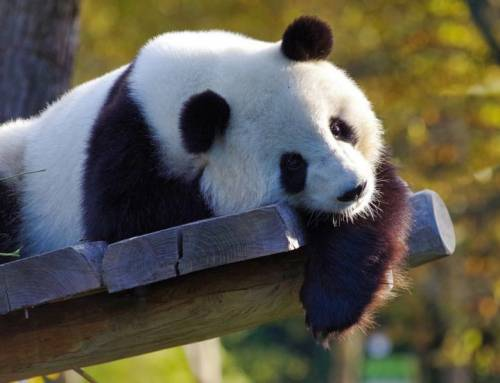 Learning Mandarin-The Success of Panda Protection(HSK4)